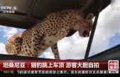 坦桑尼亚:猎豹跳上车顶 游客大胆自拍