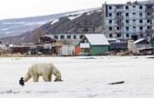 北极熊迷路700公里疲惫不堪 俄出动米-8直升机送其回家