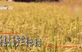 稻花香里说丰年,金黄水稻描绘丰收画卷