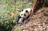 """""""滾滾""""來啦!全球首次野外產仔大熊貓成功回捕"""