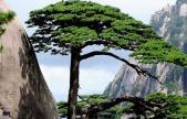黄山风景区辟谣迎客松为塑料树 网传不实,有守松人专职护理