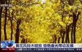云南黄花风铃木绽放 惊艳春光带动发展