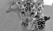 男子走私三只小白虎被查 辩称这是波斯猫