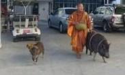 """一泰国僧人带两个""""野猪弟子""""化缘 如影随形"""