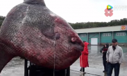 渔民捕获一吨重罕见巨鱼 三天才打捞上岸只好喂熊