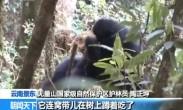 云南景东拍摄到西黑冠长臂猿进食动物画面