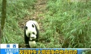 陕西 发现野生大熊猫争夺地盘踪迹