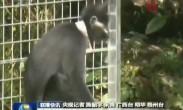 全球首次野化放归濒危珍稀保护动物黑叶猴