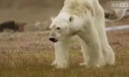 震撼!骨瘦如柴北极熊濒死画面 拍摄团队泪崩