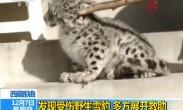 西藏那曲:发现受伤野生雪豹 多方展开救助