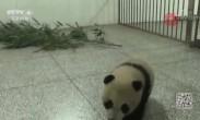 42只大熊猫宝宝上幼儿园学新本领