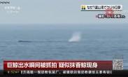 巨鲸出水瞬间被抓拍 疑似抹香鲸现身