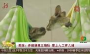美国:赤颈袋鼠三胞胎 爱上人工育儿袋