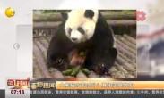 大熊猫吃苦瓜吗?真相笑哭网友