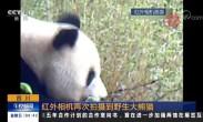 四川 红外相机再次拍摄到野生大熊猫