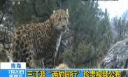 """青海 三江源""""两豹同行""""珍贵视频公布"""
