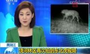 黑龙江 饶河林区再次拍到东北虎视频