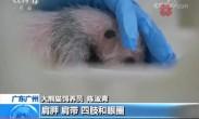 华南地区首只大熊猫二代幼崽亮相