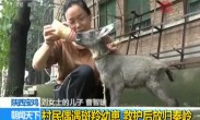 村民偶遇斑羚幼崽 救护后放归秦岭