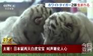 日本诞两只白虎宝宝 叫声萌化人心