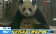 四川成都 大熊猫繁育季 已新增6胎10仔