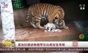 孟加拉国动物园罕见白虎宝宝亮相