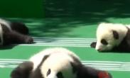 成都基地新生大熊猫集体报到