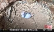 野外发现大熊猫产子巢穴