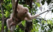 """全球唯一已知""""白猩猩""""被放归印尼森林"""
