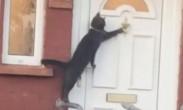 派对猫?黑猫清晨回家被锁竟熟练敲门 网友-这不是我吗?