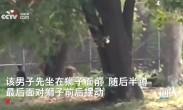 印度男子翻入动物园狮子围栏 狮子表示没有胃口吃他