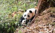 """""""滚滚""""来啦!全球首次野外产仔大熊猫成功回捕"""
