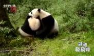 双倍可爱!全球首次拍到野生大熊猫亚成体双胞胎