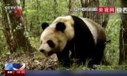 陕西汉中:红外相机拍摄到野生大熊猫等珍稀野生动物影像
