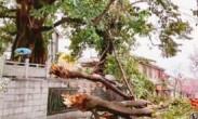 大理古城500年情侣树被风吹断 众多游客曾来此打卡