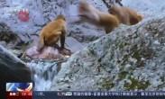 """神农架国家公园 """"生境廊道""""成川金丝猴""""通婚鹊桥"""""""