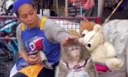 """超重!强制减肥 泰国猴子贪吃""""胖成球"""""""