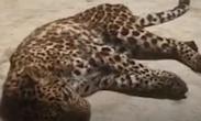 杭州野生动物世界金钱豹外逃事件_第三只出逃金钱豹野外生存状态引担忧
