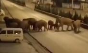 15头亚洲象进入云南峨山县城