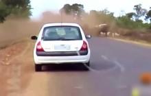 实拍南非牛群狮口逃生 慌乱中险掀翻汽车
