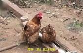 巨无霸!母鸡王产巨蛋,1个近半斤
