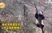 秦岭大熊猫上树折樱桃花