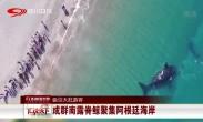 吸引大批游客:成群南露脊鲸聚集阿根廷海岸