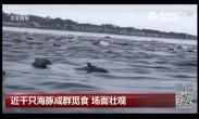 近千只海豚成群觅食 场面壮观