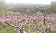 0401大西安嫽扎咧 鄠邑区千亩桃花开 太美了!