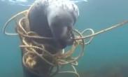 小机灵鬼!海豹被绳索缠住在水中轻灵转身成功脱困