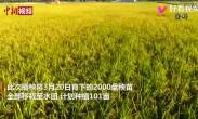 袁隆平超级杂交水稻移栽冲世界纪录