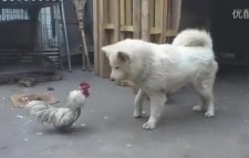 看过斗鸡的 没看过鸡狗斗的吧?