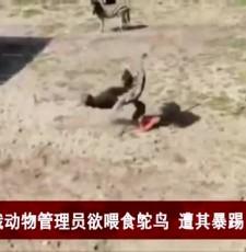 暴躁!俄动物管理员欲喂食鸵鸟 遭其暴踢