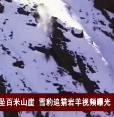 生猛!同坠百米山崖 雪豹追猎岩羊视频曝光